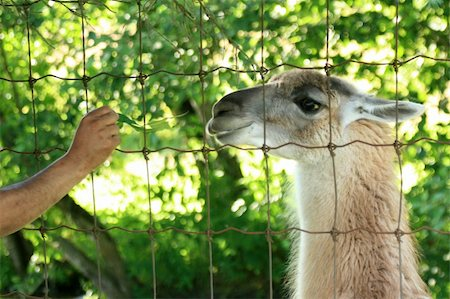 Lama - Vancouver Zoo in BC, Canada Stock Photo - Budget Royalty-Free & Subscription, Code: 400-04832116