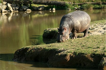 Hippo - Vancouver in BC, Canada Stock Photo - Budget Royalty-Free & Subscription, Code: 400-04832119