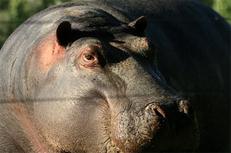 Hippo - Vancouver in BC, Canada Stock Photo - Budget Royalty-Free & Subscription, Code: 400-04832125