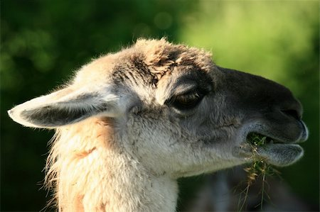 Lama - Vancouver Zoo in BC, Canada Stock Photo - Budget Royalty-Free & Subscription, Code: 400-04832123