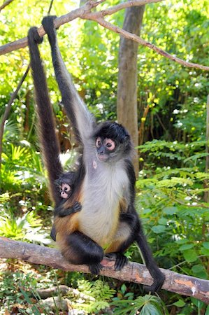 Ateles geoffroyi vellerosus Spider Monkey Central America mother and baby Stock Photo - Budget Royalty-Free & Subscription, Code: 400-04832265