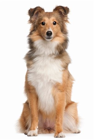 sheltie - Shetland Sheepdog, 9 months old, sitting in front of white background Stock Photo - Budget Royalty-Free & Subscription, Code: 400-04832701