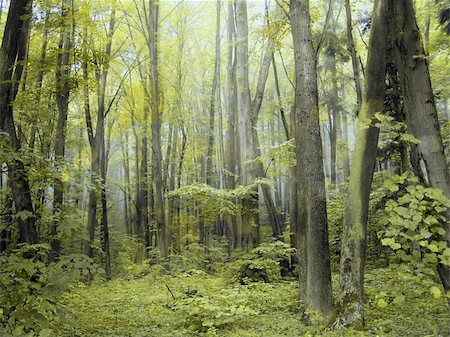 Mystical green foggy summer forest. Stock Photo - Budget Royalty-Free & Subscription, Code: 400-04833943