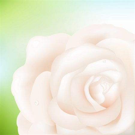 peony illustrations - Macro Image Of Cream Rose With Water Droplets, Vector Illustration Stock Photo - Budget Royalty-Free & Subscription, Code: 400-04842608