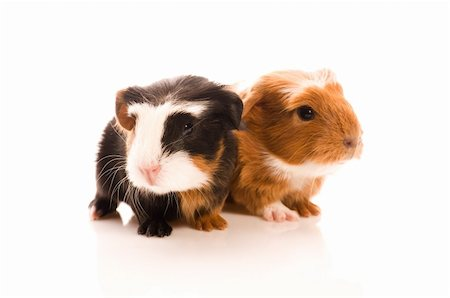 baby guinea pigs Stock Photo - Budget Royalty-Free & Subscription, Code: 400-04843066