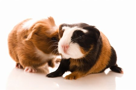 baby guinea pigs Stock Photo - Budget Royalty-Free & Subscription, Code: 400-04843068