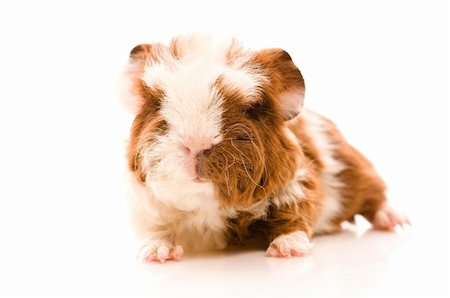 baby guinea pig Stock Photo - Budget Royalty-Free & Subscription, Code: 400-04843070