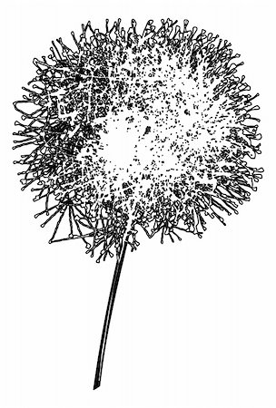 simsearch:400-04367218,k - Dandelion outline loosing its fuzzes on a white background Stock Photo - Budget Royalty-Free & Subscription, Code: 400-04860938