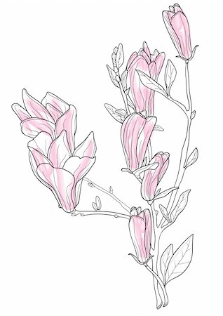 simsearch:400-04367215,k - Vector illustration of beautiful pink magnolia Stock Photo - Budget Royalty-Free & Subscription, Code: 400-04861059