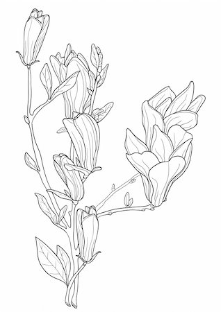 Vector illustration of beautiful magnolia Stock Photo - Budget Royalty-Free & Subscription, Code: 400-04861061
