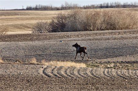 Moose Cow and Calf Saskatchewan Canada Stock Photo - Budget Royalty-Free & Subscription, Code: 400-04861787
