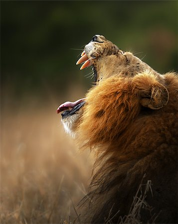 roar lion head picture - Lion displays dangerous teeth - Kruger National Park - South Africa Stock Photo - Budget Royalty-Free & Subscription, Code: 400-04885167