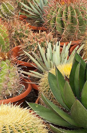 Full frame take of an industrial cactus plantation Stock Photo - Budget Royalty-Free & Subscription, Code: 400-04885828