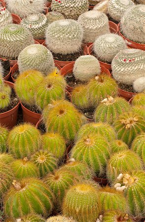 Full frame take of an industrial cactus plantation Stock Photo - Budget Royalty-Free & Subscription, Code: 400-04885829