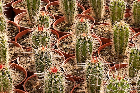 Full frame take of an industrial cactus plantation Stock Photo - Budget Royalty-Free & Subscription, Code: 400-04885830