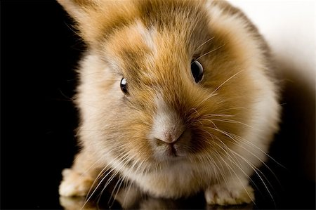 photo of adorable dwarf rabbit with lion's head on black glass table Stock Photo - Budget Royalty-Free & Subscription, Code: 400-04882395
