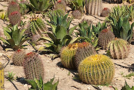 Farm producing a wealth of different cactus species Stock Photo - Budget Royalty-Free & Subscription, Code: 400-04882980