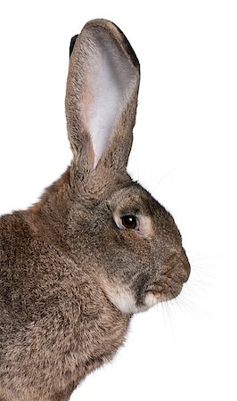 Close-up of Flemish Giant rabbit in front of white background Stock Photo - Budget Royalty-Free & Subscription, Code: 400-04891385