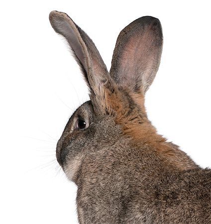 Close-up of Flemish Giant rabbit in front of white background Stock Photo - Budget Royalty-Free & Subscription, Code: 400-04891386