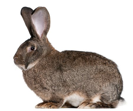 Flemish Giant rabbit in front of white background Stock Photo - Budget Royalty-Free & Subscription, Code: 400-04891387