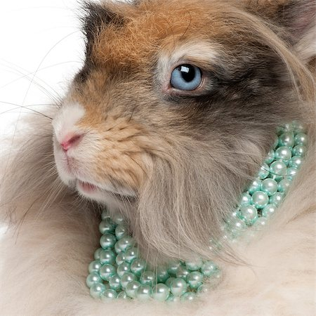 Close-up of English Angora rabbit wearing pearls in front of white background Stock Photo - Budget Royalty-Free & Subscription, Code: 400-04891858