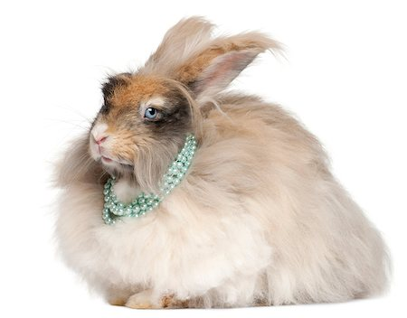 English Angora rabbit wearing pearls in front of white background Stock Photo - Budget Royalty-Free & Subscription, Code: 400-04891860