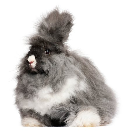 English Angora rabbit in front of white background Stock Photo - Budget Royalty-Free & Subscription, Code: 400-04891863