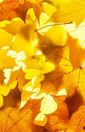 maple leaves - background Stock Photo - Budget Royalty-Free & Subscription, Code: 400-04910224