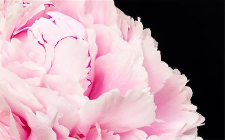 peonies background - Pink peony blooms Stock Photo - Budget Royalty-Free & Subscription, Code: 400-04925714