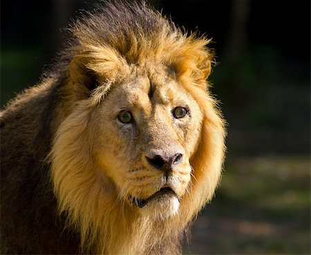 roar lion head picture - Lion head close up Stock Photo - Budget Royalty-Free & Subscription, Code: 400-04925756