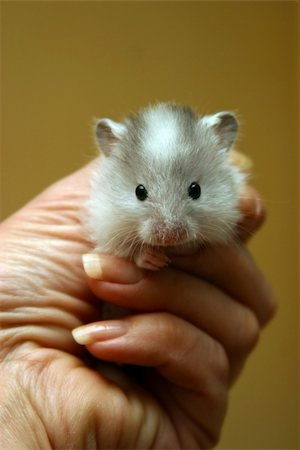 Small hamster in a female hand Stock Photo - Budget Royalty-Free & Subscription, Code: 400-04956155