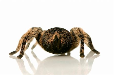 back of Zebra tarantula in front of a white backgroung, we can see the urticating hairs and a kind of smoke Stock Photo - Budget Royalty-Free & Subscription, Code: 400-04950133