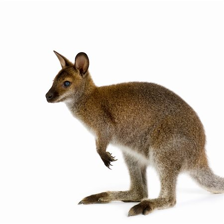 Wallaby in front of a white background Stock Photo - Budget Royalty-Free & Subscription, Code: 400-04952537