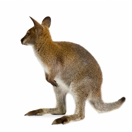 Wallaby in front of a white background Stock Photo - Budget Royalty-Free & Subscription, Code: 400-04952539
