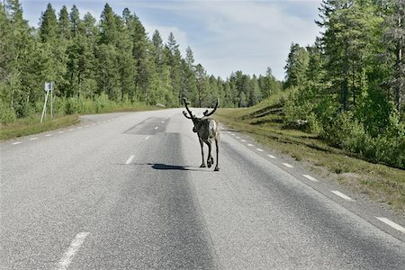 Reindeer on the highway to Boden, Sweden. Shot trough the car window as passing by. Stock Photo - Budget Royalty-Free & Subscription, Code: 400-04974816