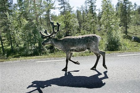 Reindeer on the highway to Boden, Sweden. Shot trough the car window as passing by. Stock Photo - Budget Royalty-Free & Subscription, Code: 400-04974817