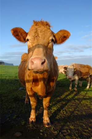 Dairy Cow Stock Photo - Budget Royalty-Free & Subscription, Code: 400-04974832