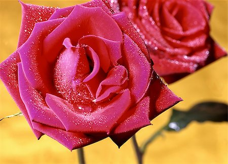 dozen roses - A red rose can put a smile on your face. Stock Photo - Budget Royalty-Free & Subscription, Code: 400-04978897