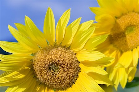 Sunflower in the village of Mijaraluenga in Burgos Stock Photo - Budget Royalty-Free & Subscription, Code: 400-04998568