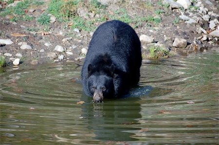 A picture of a beautiful American black bear in a small lake Stock Photo - Budget Royalty-Free & Subscription, Code: 400-05018800
