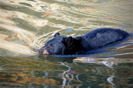 A picture of a beautiful American black bear in a small lake Stock Photo - Budget Royalty-Free & Subscription, Code: 400-05022866
