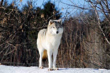 Picture of a Gray Wolf in it's natural Winter habitat Stock Photo - Budget Royalty-Free & Subscription, Code: 400-05037836
