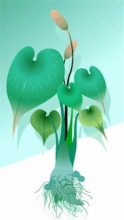 Illustration of anthurium plant with root Stock Photo - Budget Royalty-Free & Subscription, Code: 400-05038488