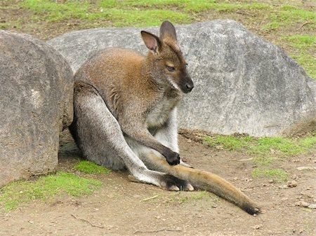 kangaroo, australia, sitting, marsupial, animal, australian, mammal, red, rock, tail, pouch, hair, fur, wallaby, grass, zoo, nature, gray, indigenous, roo, wildlife Stock Photo - Budget Royalty-Free & Subscription, Code: 400-05042322
