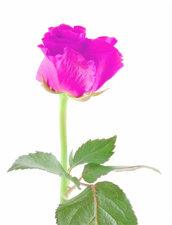 purple rose on white Stock Photo - Budget Royalty-Free & Subscription, Code: 400-05057948