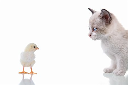 simsearch:400-04399778,k - Baby kitten and chick staring at each other. Isolated on white. Studio shot. Stock Photo - Budget Royalty-Free & Subscription, Code: 400-05078416