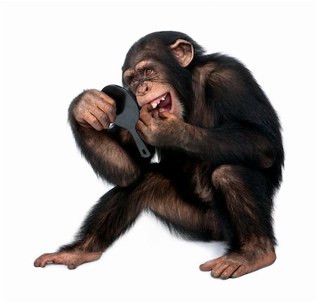 smiling chimpanzee - Young Chimpanzee looking at his teeth in a mirror  in front of a white background Stock Photo - Budget Royalty-Free & Subscription, Code: 400-05148183