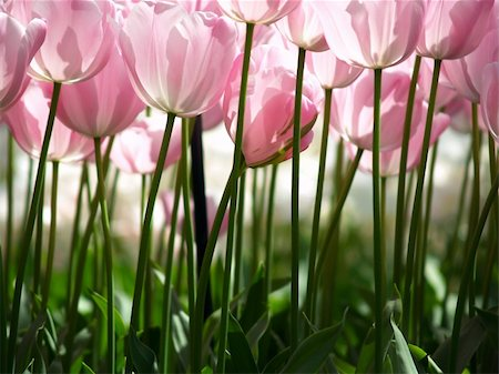 flores - Huge pink tulips as seen from the ground Stock Photo - Budget Royalty-Free & Subscription, Code: 400-05161260