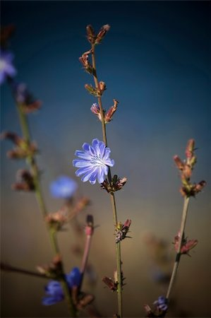 Blue flower with short focal depth Stock Photo - Budget Royalty-Free & Subscription, Code: 400-05163974