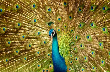 people mating - Portrait of Peacock with Feathers Out. Stock Photo - Budget Royalty-Free & Subscription, Code: 400-05195730